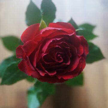 Pąsowa róża