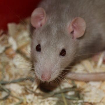 Dżentelmen ze szczurem